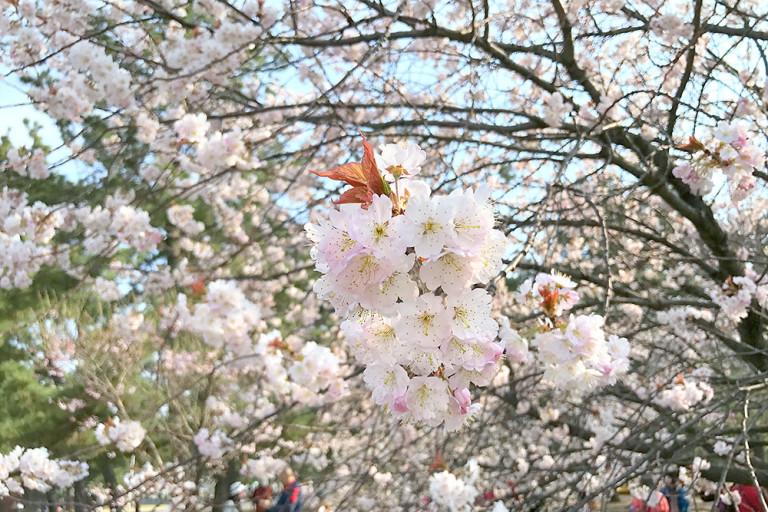 浜寺公園 桜